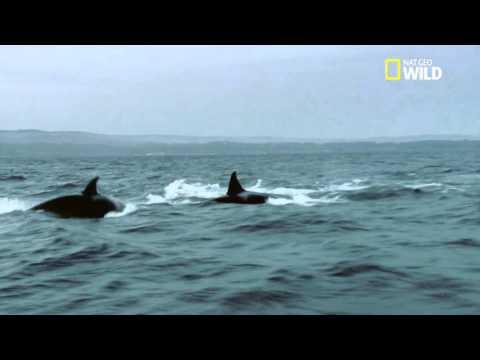 Une bande d'orques chasse une baleine bleue !