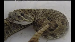 Almost A Rattlesnake Record