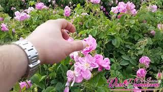 preview picture of video 'Isparta Gül Yağı Üretimi Rosa Damascena Rose Oil Producing) دهن ورد اسبارتا'
