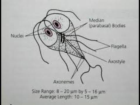Hogyan kell kezelni a pinworms t felnőtteknél