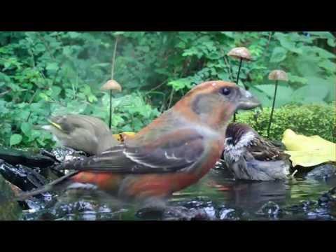 Hochbetrieb am Vogelbad. Amsel frißt Fisch. Eifel / Dohr 23.10.2015