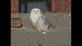 Snowy Owl in NYC