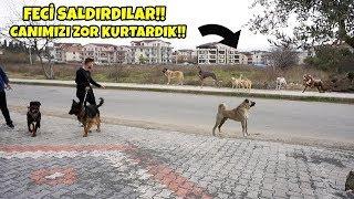 Pitbull , Alman Kurdu Ve Rottweiler İle Sokak Köpeklerinin Saldırsına Uğradık! ( FECİ SALDIRDILAR!!)