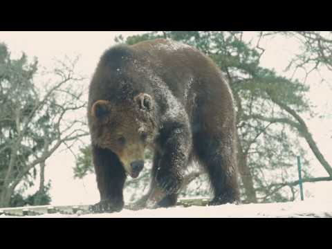 Brown Bear Enrichment