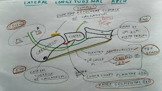 Lateral longitudinal Arch 1