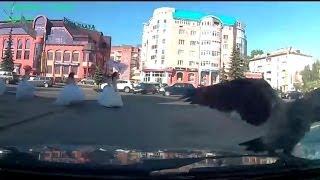 Дерзкая ворона. Архангельск.