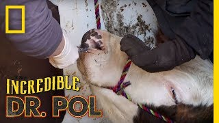 Porcupine Quills in a Cow's Face | The Incredible Dr. Pol