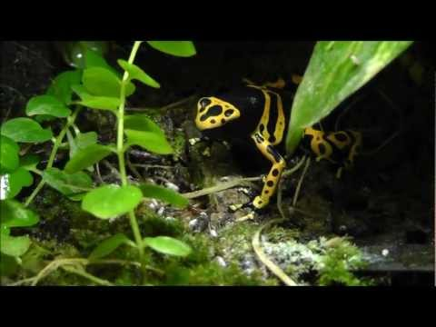 Poison Dart Frog Update and Feeding