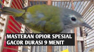 Masteran Burung Opior Spesial Gacor