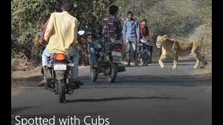 Never seen Before | Two Gir Lioness Caught in Action By Rahul Bharti