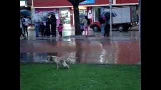 preview picture of video 'Perro orina durante la lluvia. La Gaitana, Suba, bogotá'