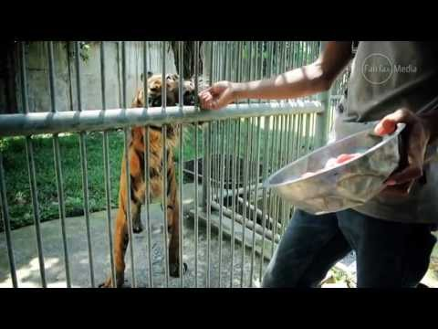 ✦MEET MELANI,A UNDERFEED TIGER AT THE HORROR ZOO OF SURABAYA✦