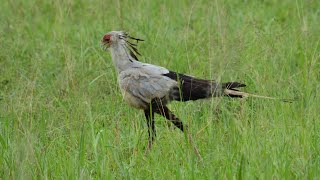 Secretarybird Walking in Savannah | Tarangire National Park | Tanzania