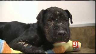 Dog found dumped used as bait dog for dog fighting