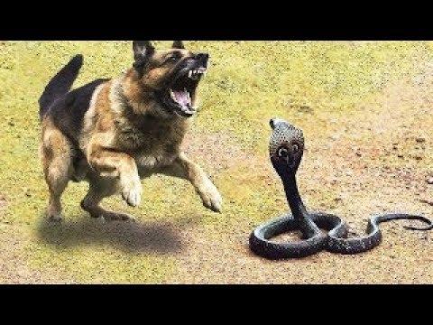 सांप और शेर की लड़ाई सांप और नेवला की