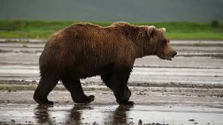 Majestic Brown Bear Sow in Alaska! Amazing view up close!