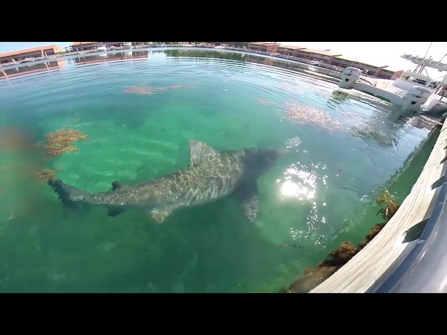 Feeding Bull Shark | Bimini, Bahamas | Underwater Shark Footage (GoPro Hero 3+)