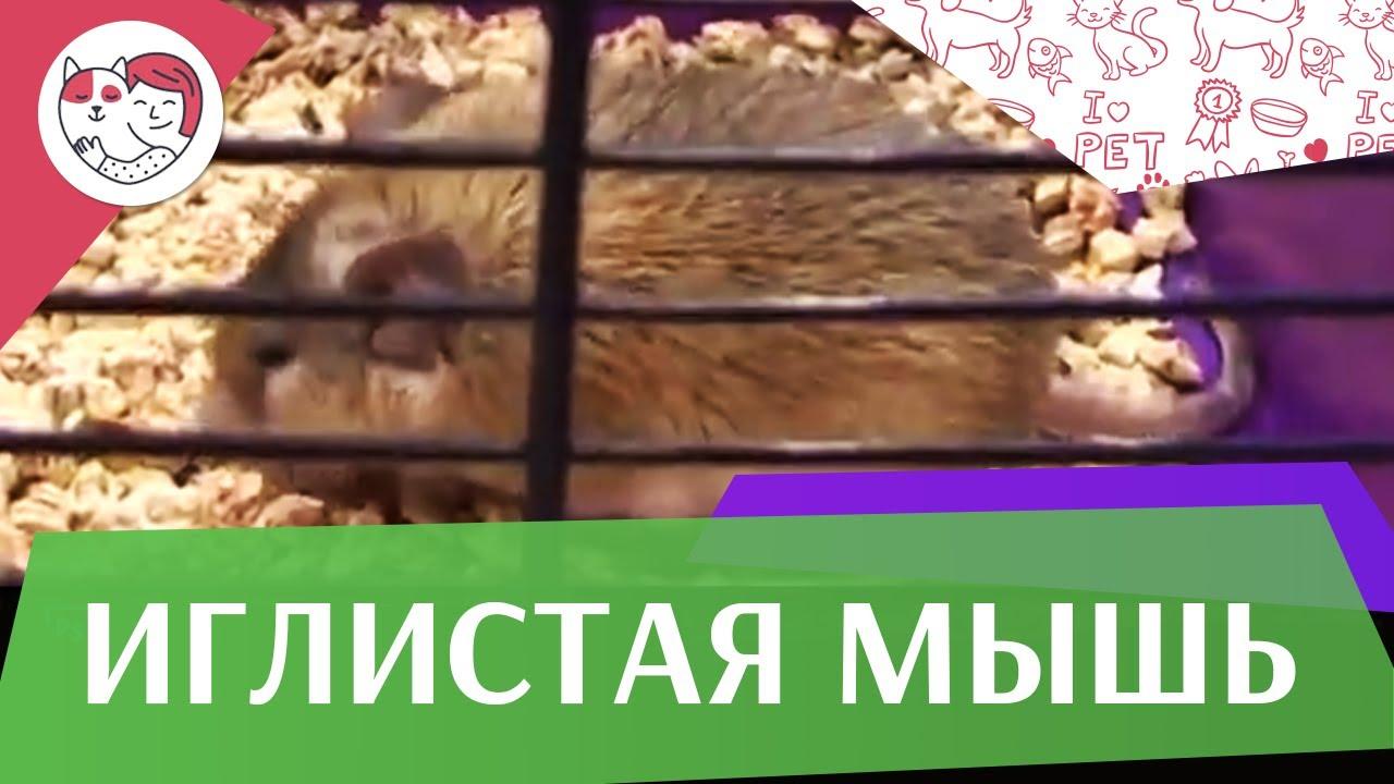 Иглистая мышь на ilikepet