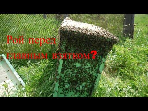 Как использовать рои перед главным взятком. Пчеловодство для начинающих. Использование роев