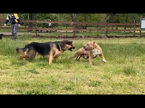 German Shepherd Attacks Pitbull [OFF LEASH DOG PARK] Part 1