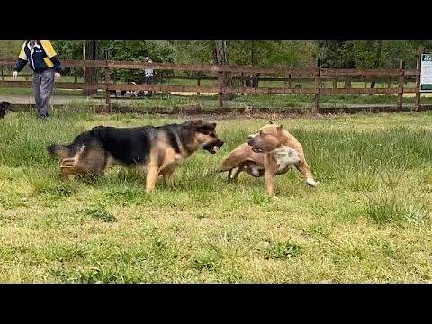 German Shepherd Attacks Pitbull [OFF LEASH DOG PARK] Part 1
