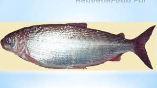 Какие рыбы обитают в озере Байкал
