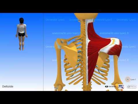 Nous développons les muscles du dos