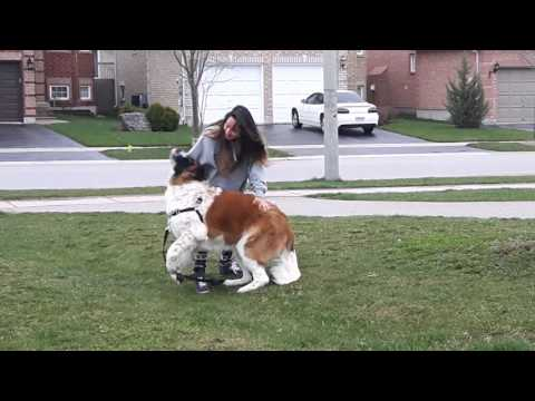 10 Month old St Bernard sees owner again after 1 month