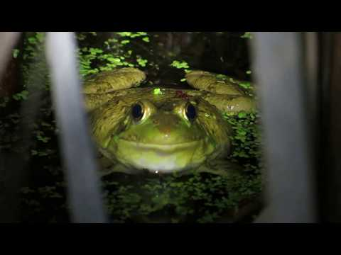 Vocalizing Green Frogs (Lithobates clamitans)