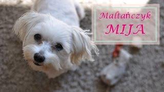 ♡ Maltańczyk Mija ♡ Pies jak lalka