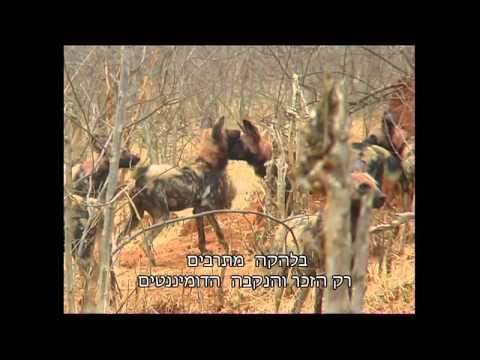 חייהם של הזאבים הטלואים בבוטסואנה