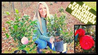How To Grow Camellias | Camellia Japonica vs Sasanqua