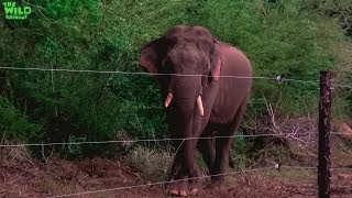 Young Tusker is waiting to destroy an electric fence