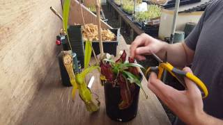 The Ultimate Nepenthes Cutting Guide
