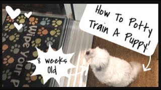 How To Potty Train An 8 Week Old Puppy   Wittle Havanese