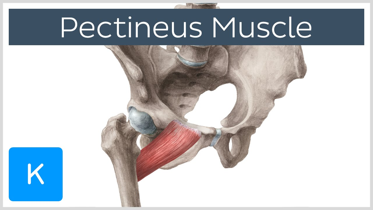 Video: Pectineus muscl...