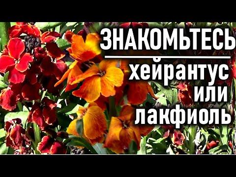 Красивые цветы, цветущие се лето  Знакомьтесь -  ХЕЙРАНТУС ИЛИ ЛАКФИОЛЬ