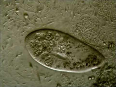 Gomba parazita kócos