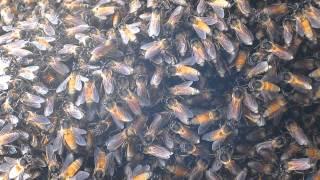 2014-11-16 Bees, Chapora