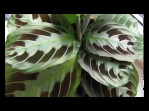 maranta  привлекательная с необычной окраской листьев!