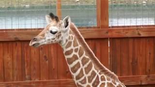 April the giraffe shows off baby Tajiri May 15 2017