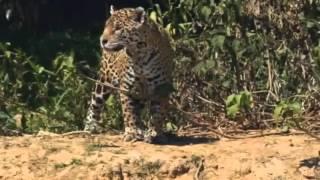 Wild word-Jaguar Attacks Crocodile   Incredible Animal Attack   Video HD
