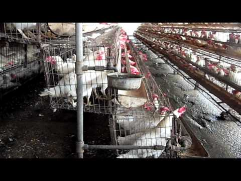 Factory Farming of Chickens in India