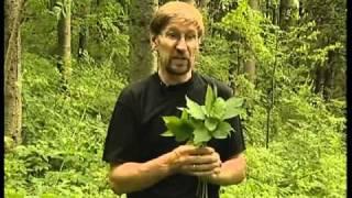 Aegopodium podagraria (сныть обыкновенная)