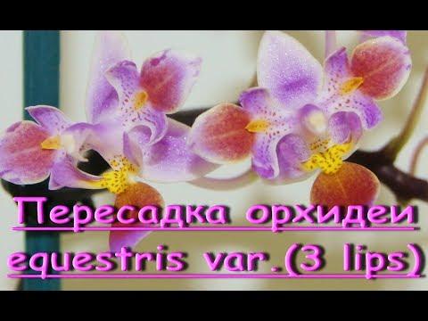 ОРХИДЕЯ phal. Equestris var.three lips:ПЕРЕСАДКА из МХА.Приветы Анастасии и Ольге!