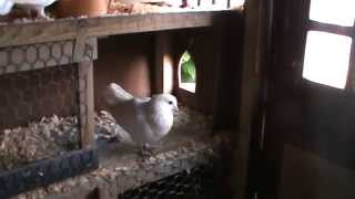Doves at Breakfast time in the Dovehouse