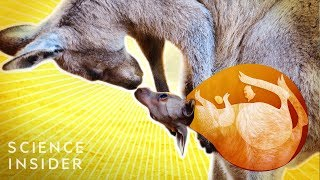 What's Inside A Kangaroo's Pouch?