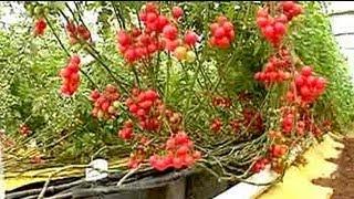 Soil-less farming: 25 kg of tomatoes per plant - YouTube