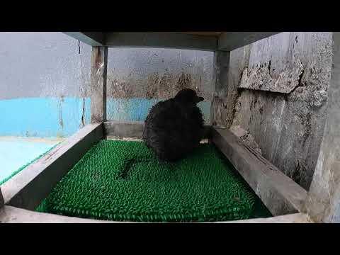 フンボルトペンギンの雛「本丸」さんの体重測定!