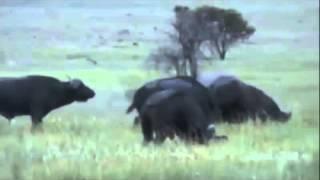 Thế giới động vật hoang dã-Động vật hoang dã và những đòn chí mạng.